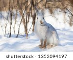 Stock photo white snowshoe hare or varying hare closeup in winter in canada 1352094197