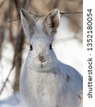 Stock photo white snowshoe hare or varying hare closeup in winter in canada 1352180054