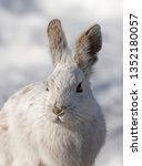 Stock photo white snowshoe hare or varying hare closeup in winter in canada 1352180057
