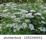 Small photo of View of a white flower meadow of Aegopodium podagraria L. commonly called ground elder, herb gerard, bishop's weed, goutweed, gout wort, and snow-in-the-mountain. Poland, Europe
