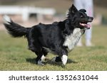 border collie dog. stroll.... | Shutterstock . vector #1352631044