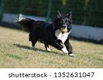border collie dog. stroll.... | Shutterstock . vector #1352631047