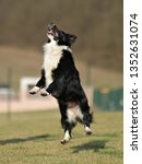 border collie dog. stroll.... | Shutterstock . vector #1352631074