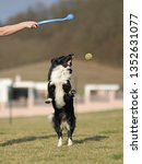 border collie dog. stroll.... | Shutterstock . vector #1352631077