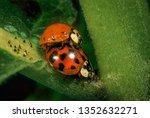 Asian Ladybird Beetles ...