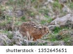 Stock photo hares running in a field 1352645651