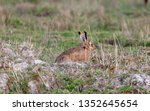 Stock photo hares running in a field 1352645654