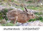 Stock photo hares running in a field 1352645657