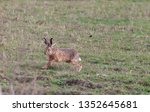 Stock photo hares running in a field 1352645681