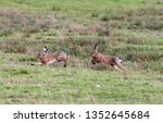 Stock photo hares running in a field 1352645684