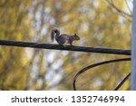 A Cute Fox Squirrel Cross The...