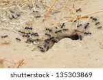 Black Ants In Desert Near An...