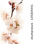 branch of apricot blossom on... | Shutterstock . vector #135305441