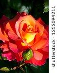 Yellow Orange Rose In The Sun....