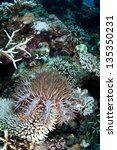 Small photo of A Crown-of-Thorns seastar (Acanthaster planci) feeds on coral colonies on a reef in the western Pacific. These seastars can destroy entire reefs during outbreaks.