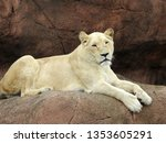 White Female Lion Lying On A...