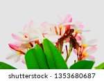 plumeria pink plumeria... | Shutterstock . vector #1353680687