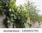wet branch of figs. picturesque ... | Shutterstock . vector #1353921791