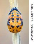 Ladybird Larva In Pupa Stage On ...