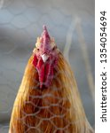 Golden Rooster Stares At Camera ...