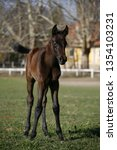 few weeks old colt live on a...   Shutterstock . vector #1354103231