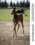 few weeks old colt live on a...   Shutterstock . vector #1354103234
