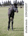 few weeks old colt live on a...   Shutterstock . vector #1354103237