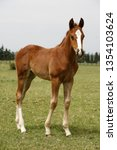 few weeks old colt live on a...   Shutterstock . vector #1354103624