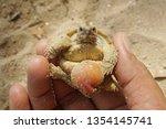 africa spurred tortoise are... | Shutterstock . vector #1354145741