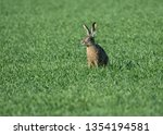 Stock photo  european hare lepus europaeus also known as the brown hare in a green field 1354194581