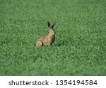 Stock photo  european hare lepus europaeus also known as the brown hare in a green field 1354194584