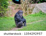 Adult Chimpanzee Sitting On The ...