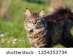 longhair domestic cat on grass. ... | Shutterstock . vector #1354353734