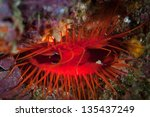 Small photo of A DIsco clam (Ctenoides ales) has a mantle that is iridescent. The animal furls and unfurls the reflective parts of its mantle causing what looks like bioluminescence.