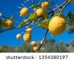 lemons on tree in a citrus... | Shutterstock . vector #1354380197