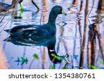 American Coot In Gator Lake At...
