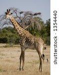 giraffe | Shutterstock . vector #1354440