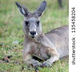 kangaroo  the most known... | Shutterstock . vector #135458204