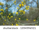 Ulex Commonly Knowns As Gorse ...
