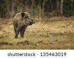 Wild Boar Watching For Danger...