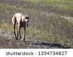 Stock photo typical spanish dog ready to run behind the hares 1354734827