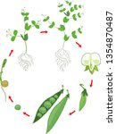 life cycle of pea plant with... | Shutterstock .eps vector #1354870487