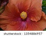 Orange Hibiscus With Yellow...