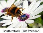 Bee Sucking Pollen On A Daisy