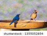 Eastern Bluebird And Female...