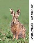 Stock photo european hare lepus europaeus 1355084504
