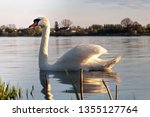 One Graceful White Swan On A...