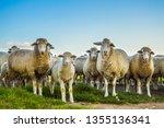 big herd of cute merino or...   Shutterstock . vector #1355136341