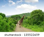 giraffes in kruger park south... | Shutterstock . vector #135522659