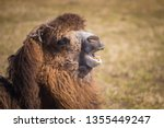 A Camel Shows Its Teeth While...
